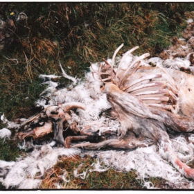Dead Sheep - Isle of Skye, Sept 2001