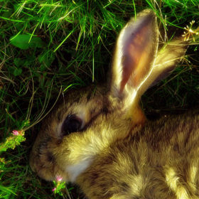 Summerisle Rabbit - (Outer Hebrides 2006)